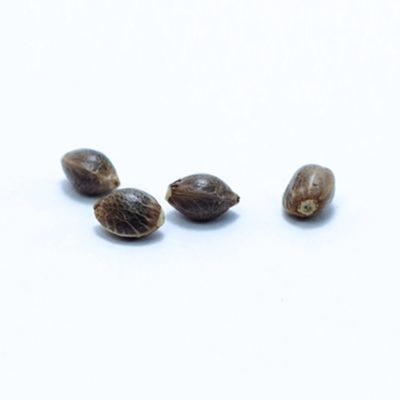 jack-la-mota-semillas